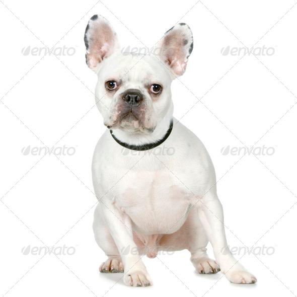 French Bulldog - Stock Photo - Images