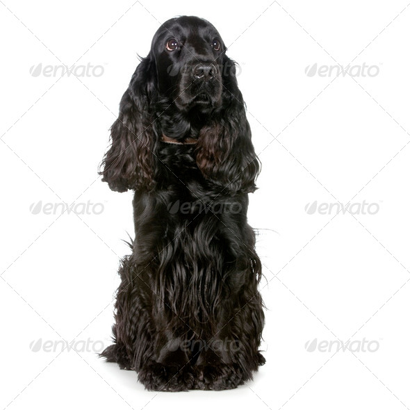 Cocker Spaniel - Stock Photo - Images
