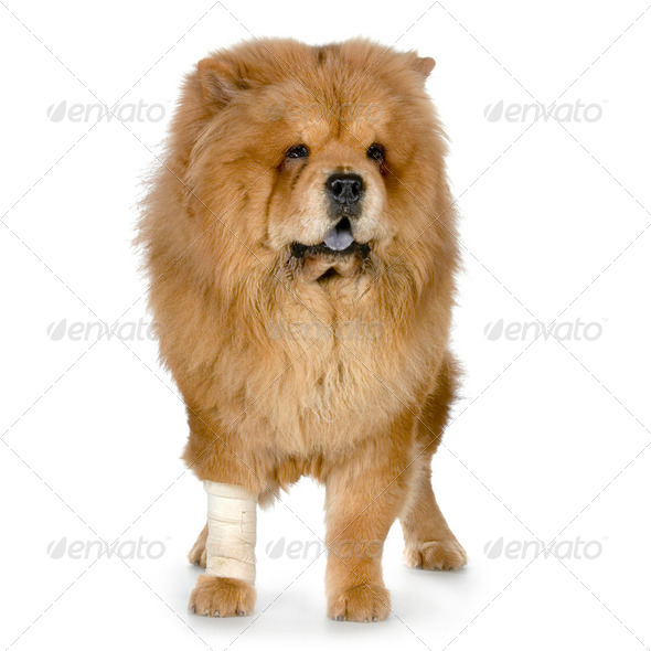 Chow Chow - Stock Photo - Images