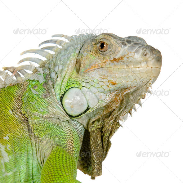 green iguana - Stock Photo - Images
