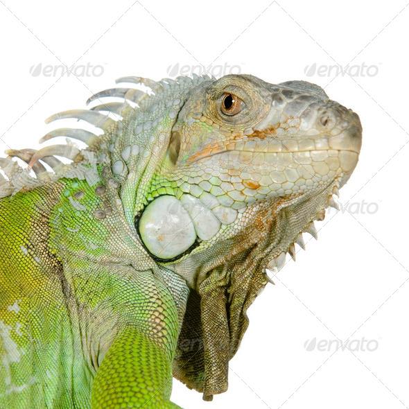 green iguana - Stock Photo - Images