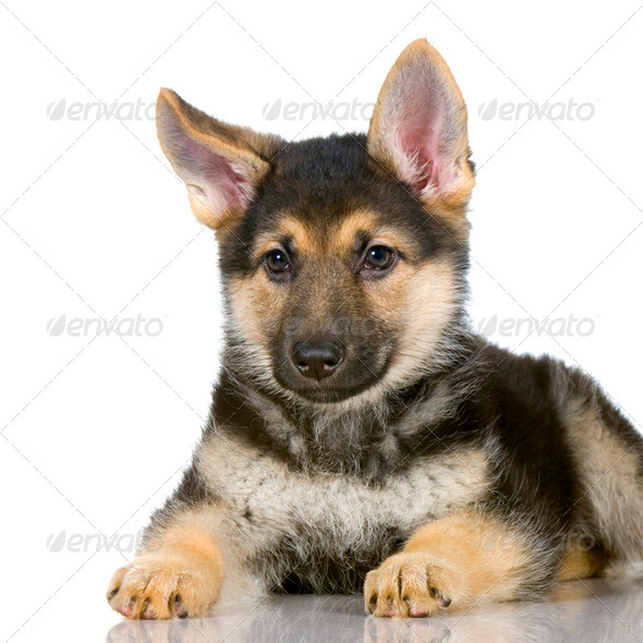 german shepherd puppy - Stock Photo - Images