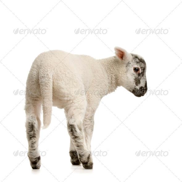 Lamb - Stock Photo - Images