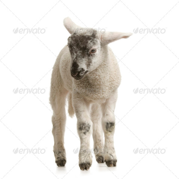 Lamb - Stock Photo - Images
