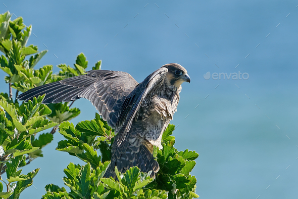 Peregrine falcon (Falco peregrinus) - Stock Photo - Images