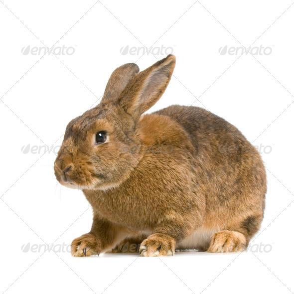 Common Rabbit - Stock Photo - Images