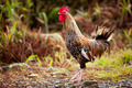 Proud chicken - PhotoDune Item for Sale