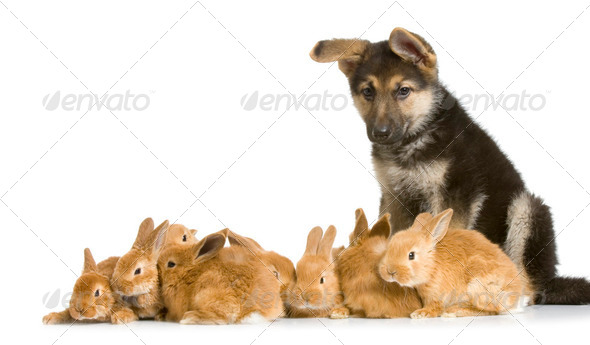 group of bunnies and a german shepherd - Stock Photo - Images