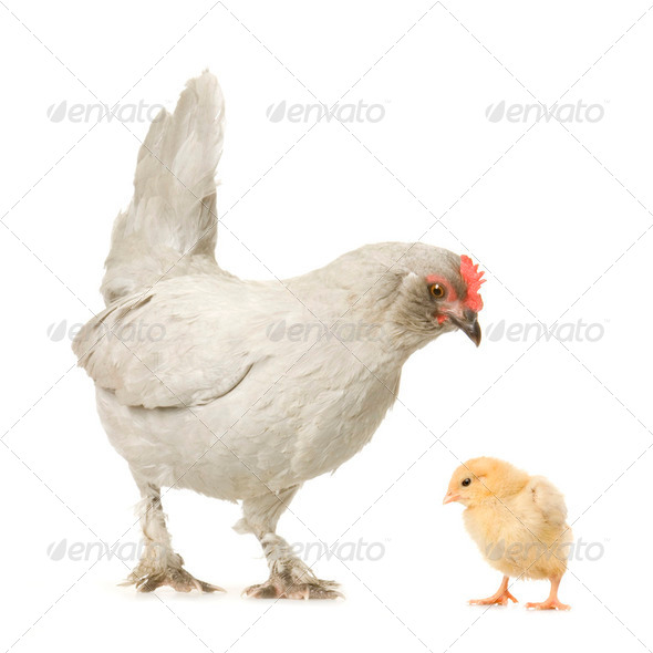 Hen and her chick - Stock Photo - Images