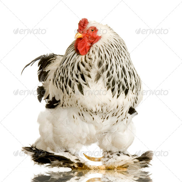 Rooster - Stock Photo - Images