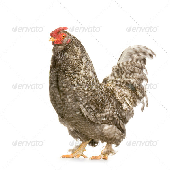 Hen - Stock Photo - Images