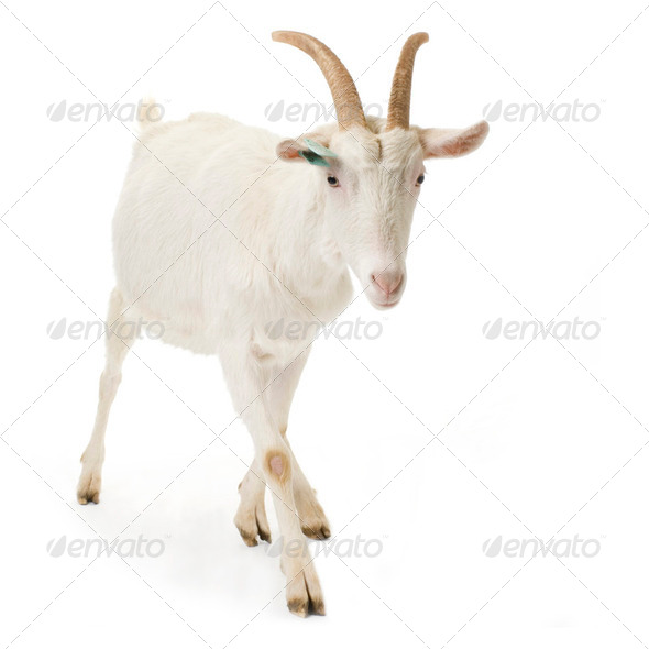 Goat - Stock Photo - Images