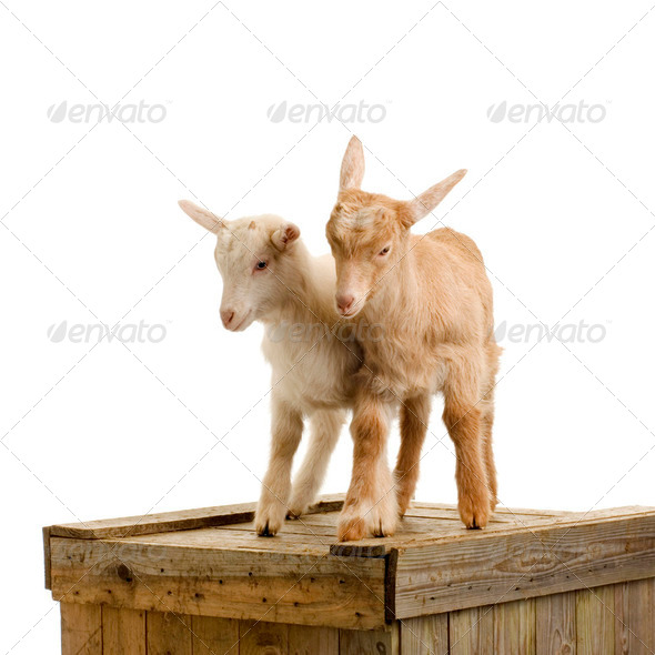 Goats - Stock Photo - Images