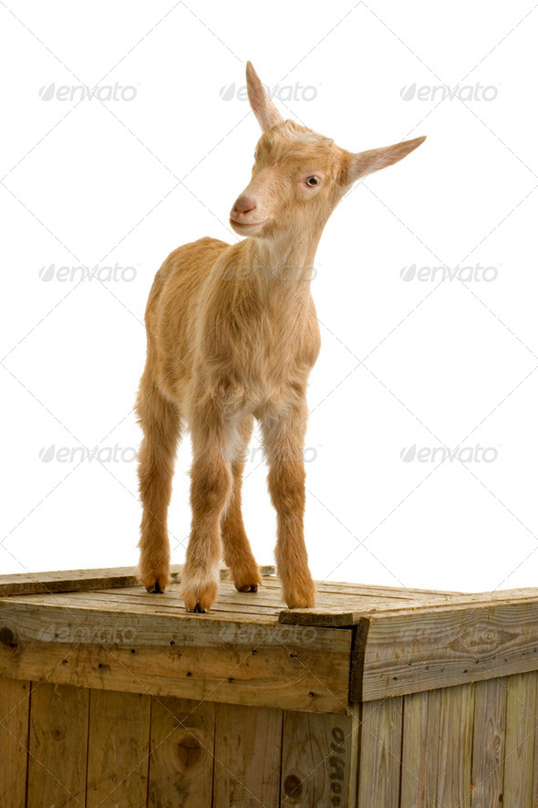 Goat - Stock Photo - Images