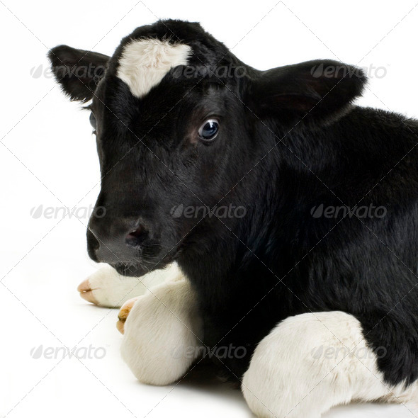 Calf - Stock Photo - Images