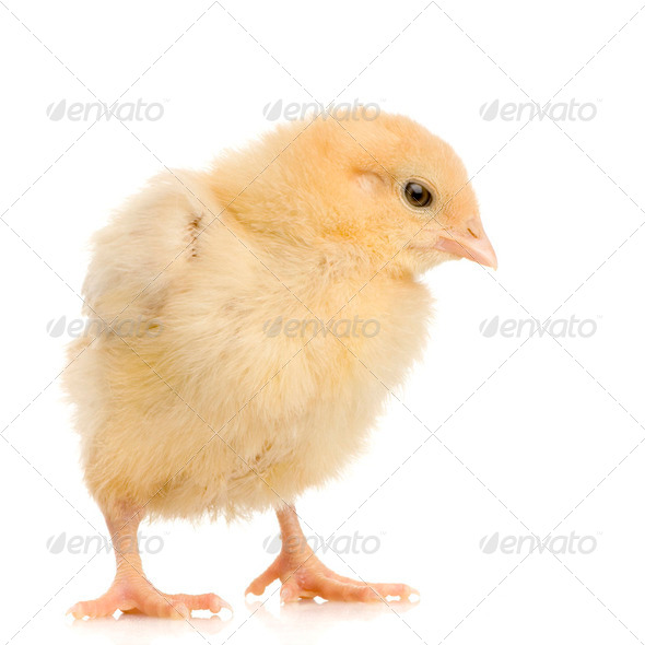 chick - Stock Photo - Images
