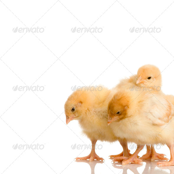 Scared group of chicks - Stock Photo - Images