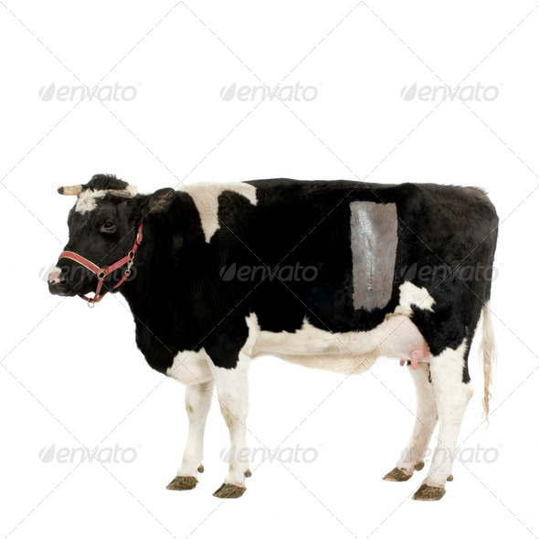 Cow - Stock Photo - Images