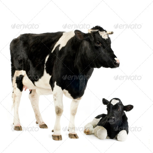 Cow and her calf - Stock Photo - Images
