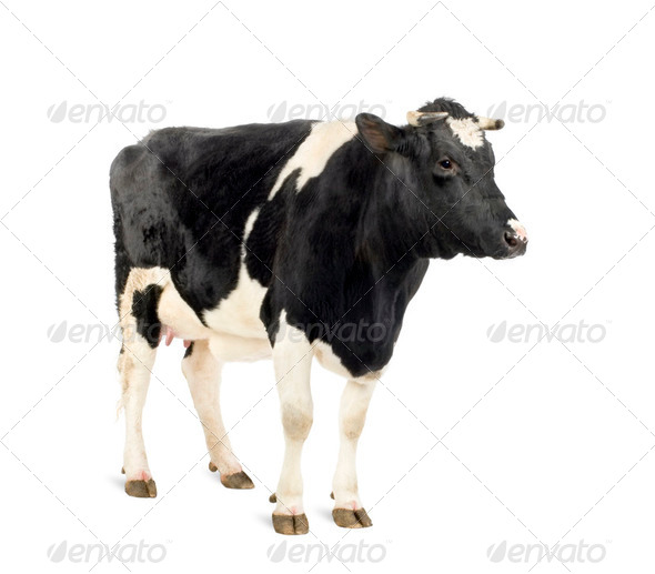 Cow standing in front of white background, studio shot - Stock Photo - Images
