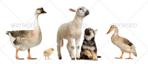 farm animals - Stock Photo - Images