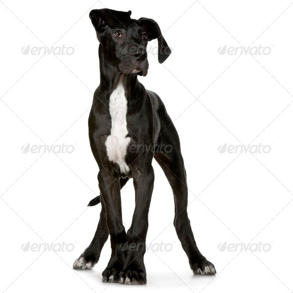 Great Dane - Stock Photo - Images