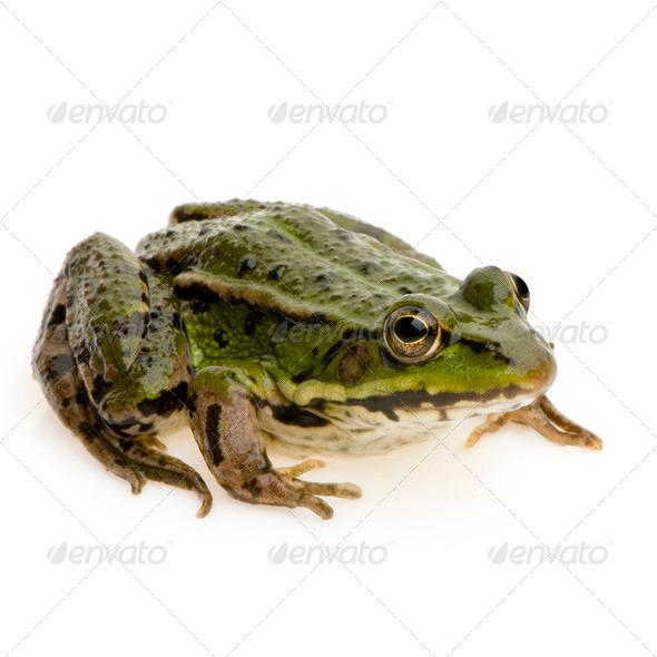Edible Frog - Rana esculenta - Stock Photo - Images