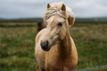 Beautiful Icelandic horse in a meadow - PhotoDune Item for Sale