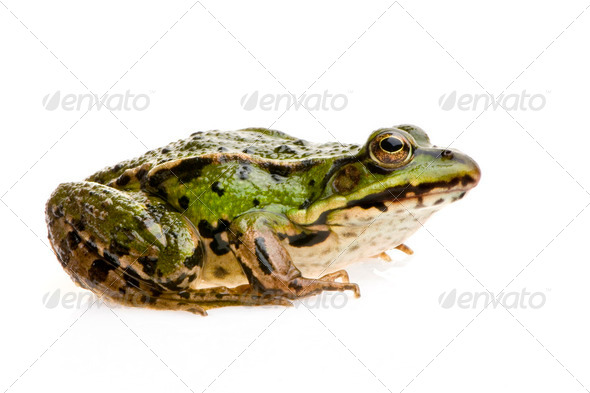 Edible Frog - Rana esculenta - Stock Photo - Images