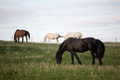Four beautiful horses eating grass in a meadow - PhotoDune Item for Sale