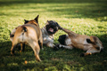 Three happy french bulldogs playing - PhotoDune Item for Sale