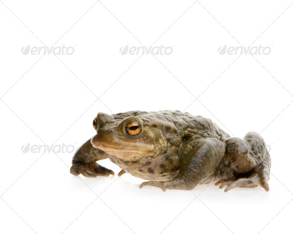 Common Toad - Bufo bufo - Stock Photo - Images