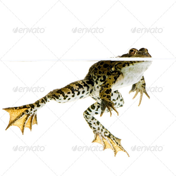 surfacing Frog - Stock Photo - Images