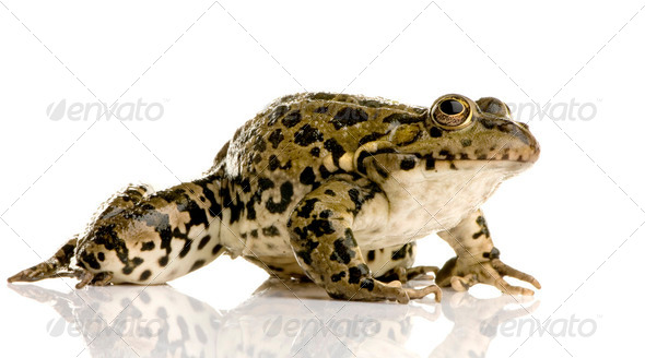 Marsh Frog - Rana ridibunda - Stock Photo - Images