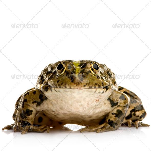 Marsh Frog - Rana ridibunda - Stock Photo - Images