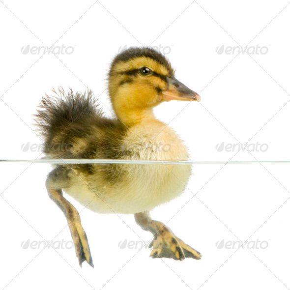 Duckling four days - Stock Photo - Images