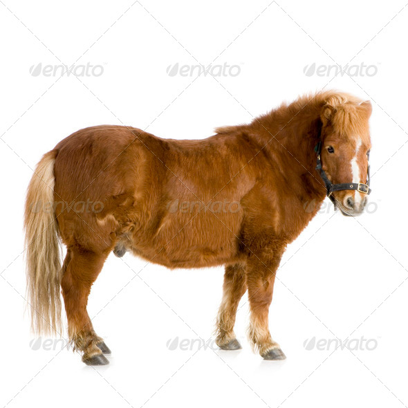 Shetland pony (13 years) - Stock Photo - Images