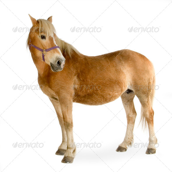Haflinger - Horse (23 years) - Stock Photo - Images