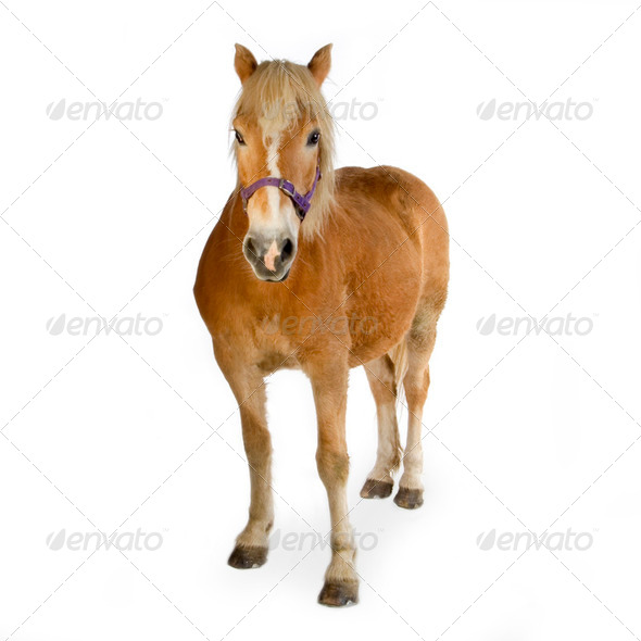 Haflinger - Horse (23 years) - Stock Photo - Images