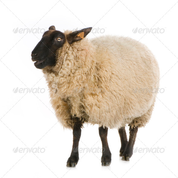 Suffolk Sheep - Stock Photo - Images