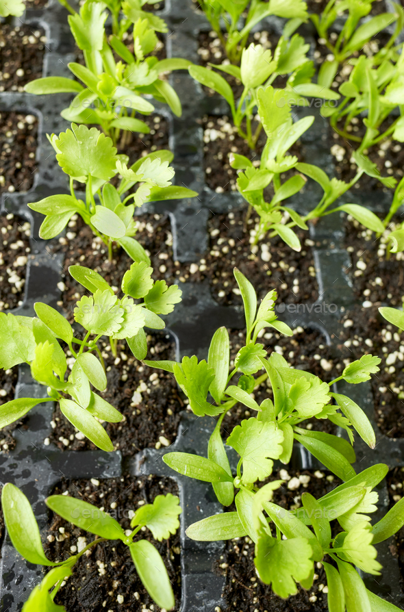 Close up picture of coriander seedlings. - Stock Photo - Images