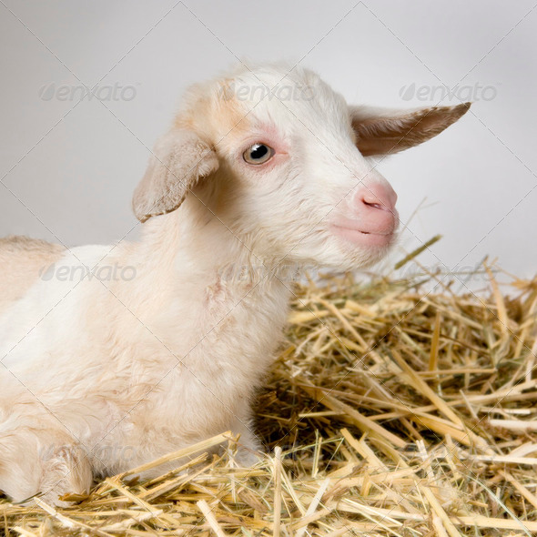 Goat and her kids - Stock Photo - Images
