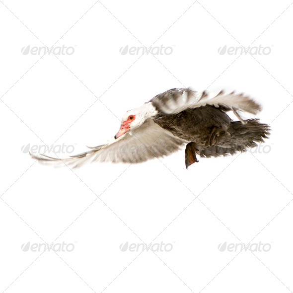 Muscovy Duck - Cairina moschata - Stock Photo - Images