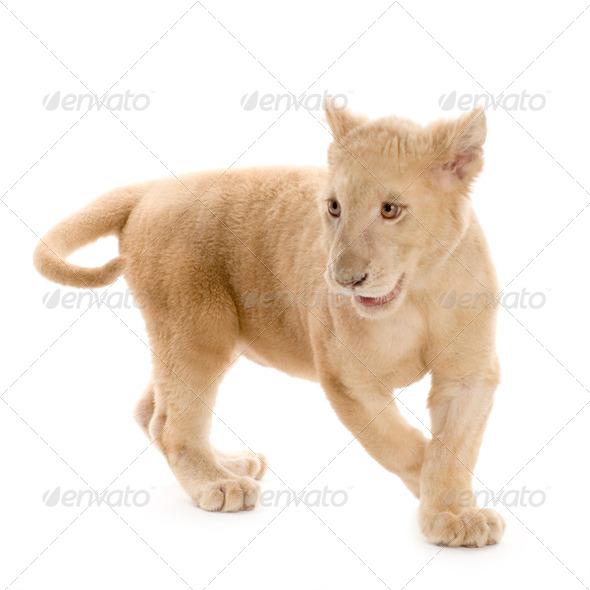 white Lion Cub (5 months) - Stock Photo - Images
