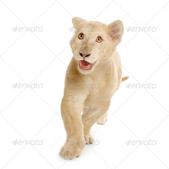 white Lion Cub (5 months) - Stock Photo - Images