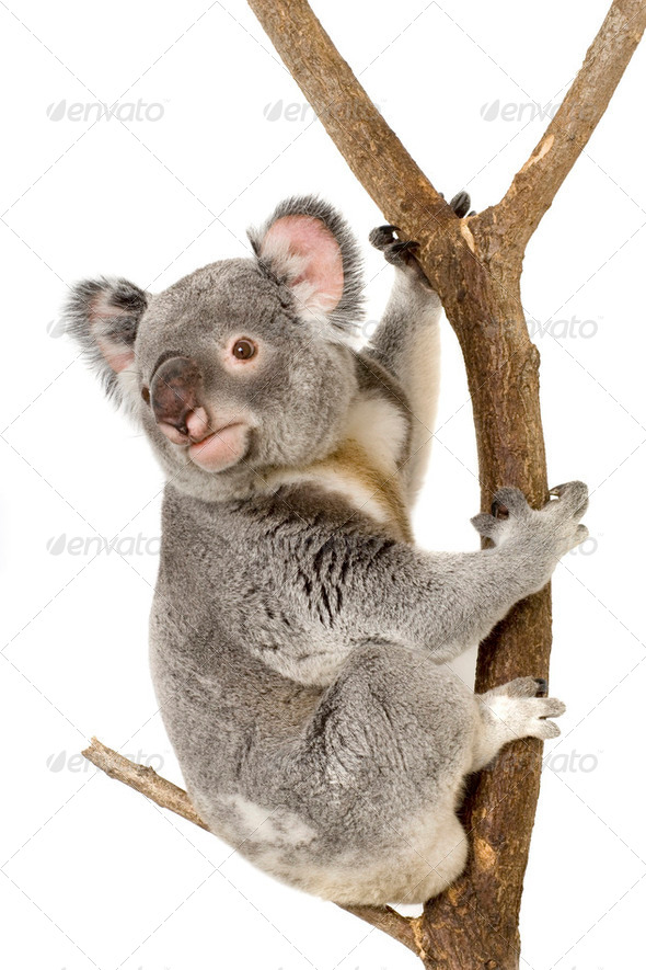 Koala - Stock Photo - Images