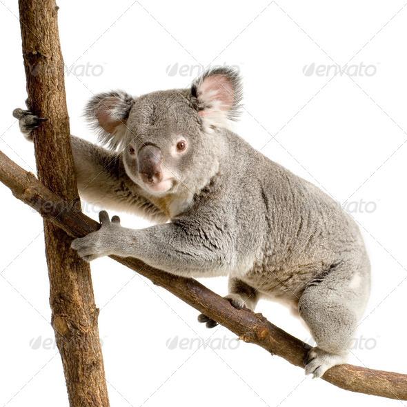 Koala - Stock Photo - Images