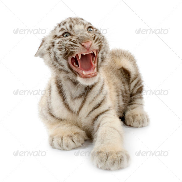 White Tiger cub (3 months) - Stock Photo - Images