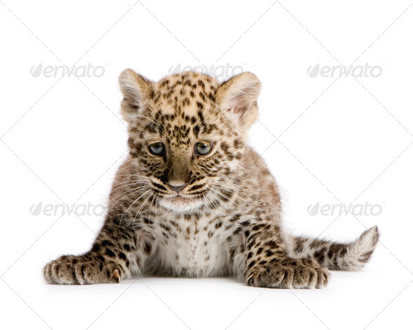 Persian leopard Cub (2 months) - Stock Photo - Images