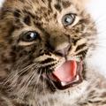 Persian leopard Cub (2 months)